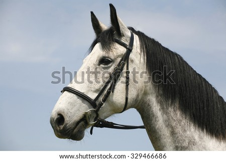 Head shot of a purebred gray horse rural scene