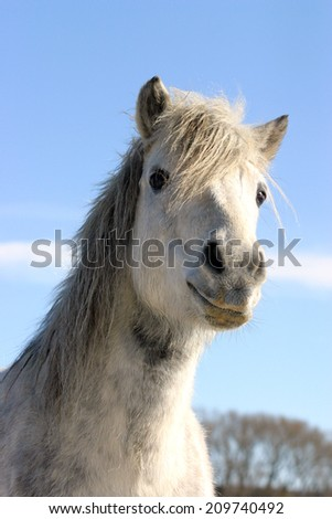 Headshot of a white pony wintertime. 	Close-up of a white horse against blue sky in paddock