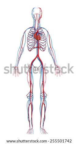 heart and cardiovascular circulatory
