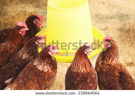 Hens in a farm. - stock photo