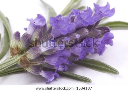 herbs. lavender - stock photo
