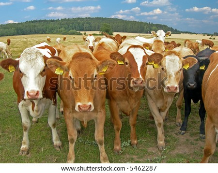 Herd of cows on the meadow with forest in the back