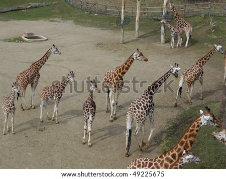 herd of  giraffes in a zoo - stock photo