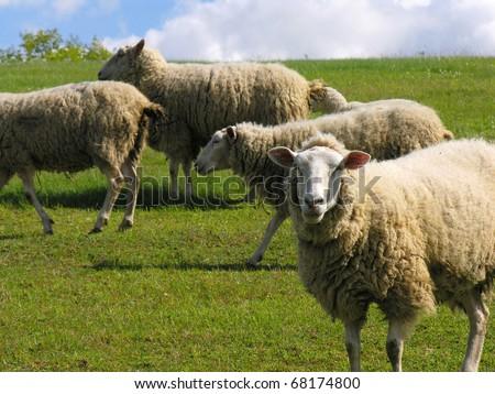 herd of sheep -     summer landscape - stock photo
