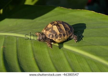 Hermann's Tortoise , - stock photo