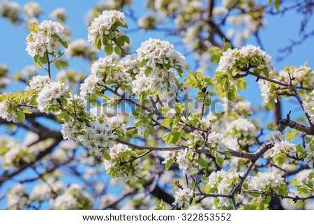 Ð¡herry-plum Flowers - stock photo
