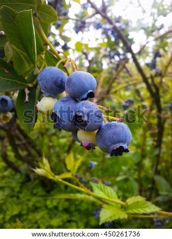 Highbush blueberry plant with ripe berries.Vancouver /Washington /USA - stock photo