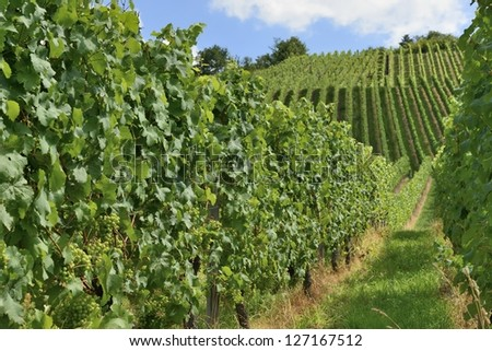 hilly vineyard #16, Stuttgart,  foreshortening of hilly vineyard with multiple lines of plants on the hills surrounding the important industrial town - stock photo