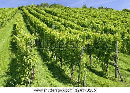 hilly vineyard, Stuttgart   foreshortening of hilly vineyard with multiple lines of plants on the hills surrounding the important industrial town - stock photo