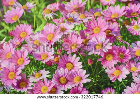 Ð¡hrysanthemum Flowers (Shallow DOF) - stock photo