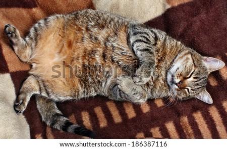 Huge fat stuffed cat sleeping on a blanket - stock photo