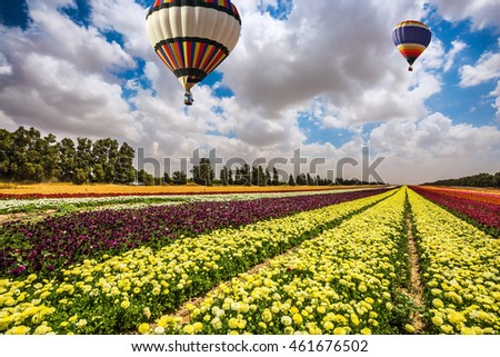 Huge field of blossoming garden buttercups-ranunculus. Above the flowers flying big bright balloons. Israel spring