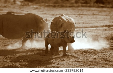 2 huge white rhino cows and calf in this silhoette image. - stock photo