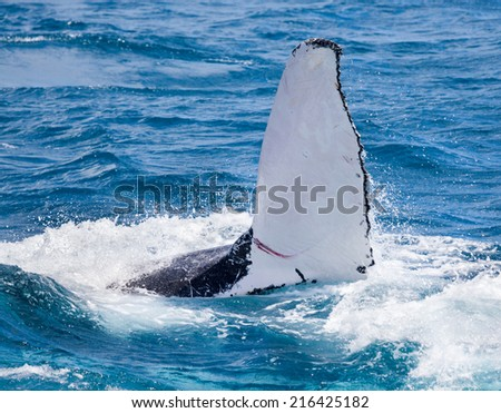 Humpback whale at Hervey Bay queensland in August this year giving a flipper slap wave. - stock photo