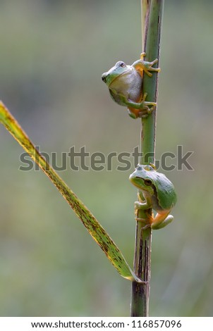 2 Hyla Arborea (green treefrog) ready to make a giant leap to their habitat
