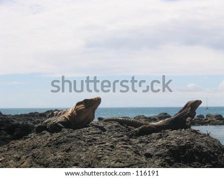 2 Iguanas, Costa Rica - stock photo