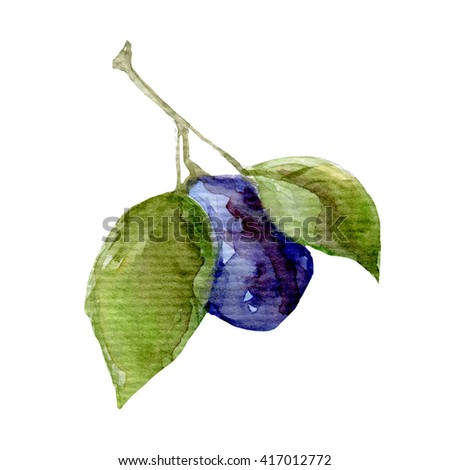 illustration of fruit plum Hand drawn watercolor painting on white - stock photo