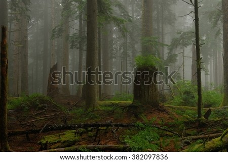 In the dark misty forest. Larch Mountain, Oregon, USA Pacific Northwest.