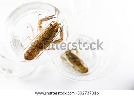 2 inch crayfish in plastic cup to sale