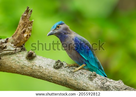 Indian roller(Coracias benghalensis) catch on the tree and stair at us in nature of Thailand - stock photo