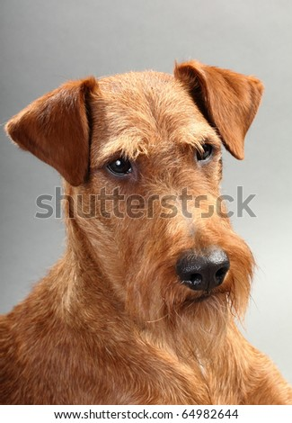 Irish terrier on gray background. Not isolated.