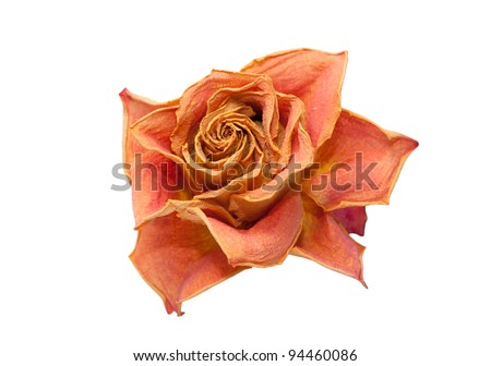 isolated dry rose on a white background - stock photo