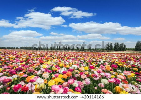 "Israeli kibbutz on the border with the Gaza Strip. Huge field of blossoming buttercups. Spring ""carpet"" of flowers"