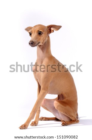 Italian Greyhound dog sit in studio, isolated on white background