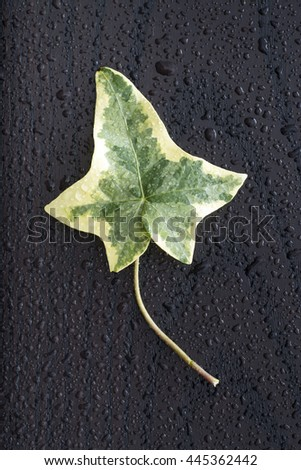 Ivy leaf and drops of water on a dark wooden surface