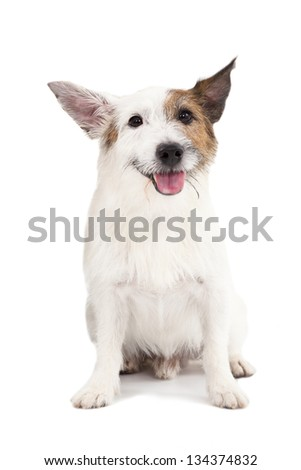 jack russel terrier dog on the white background - stock photo