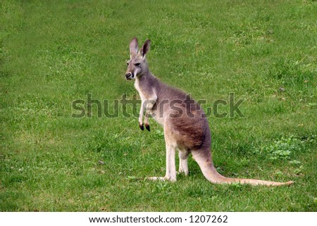 kangaroo - stock photo