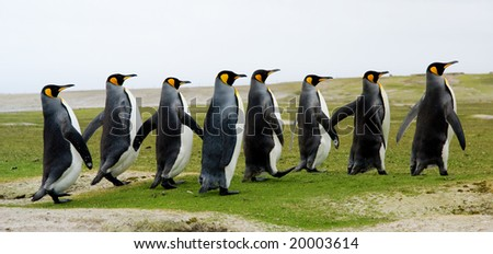 8 King Penguins walking in a line - stock photo