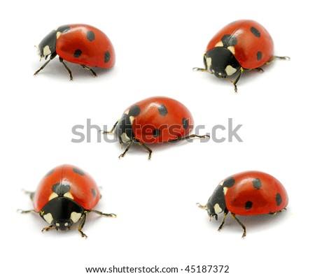 Ladybugs - stock photo