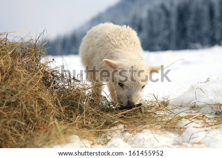lamb eating the hay meadow covered with snow. Winter on the farm. - stock photo