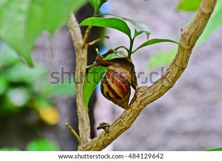 land snail eating leaf on branch of tree, gastropod