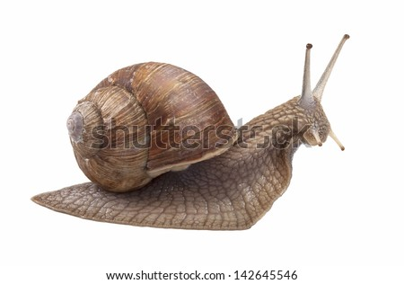 Land snail isolated on white background