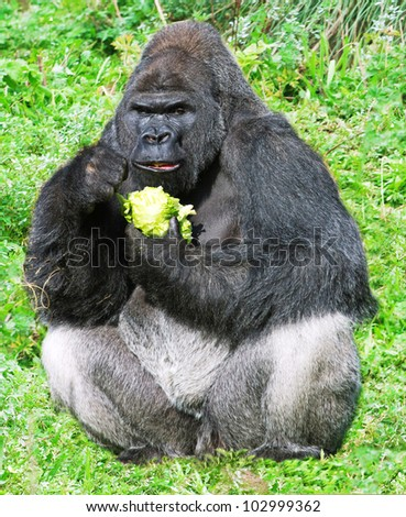large male silver back western lowland gorilla (gorilla gorilla gorilla) eating vegation in a seating position - stock photo