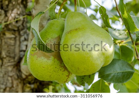 2 large ripe pears hanging on tree branch with leaves in orchard