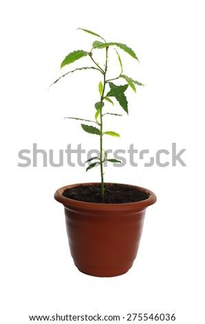 laurel plant in pot isolated on white backrgound - stock photo