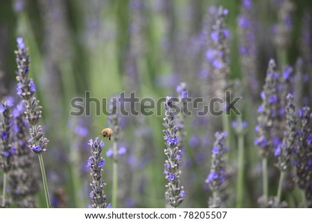 lavender and bee. closeup detail of a herbal plant