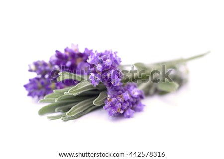 lavender on the white background