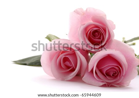 Laying down beautiful rose - stock photo