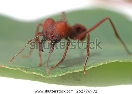 Leaf Cutter Ant walking on green leaf. Macro photography. - stock photo