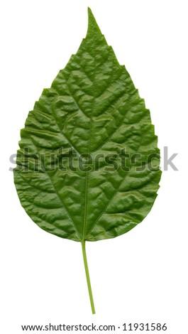 leaf isolated on  white - stock photo