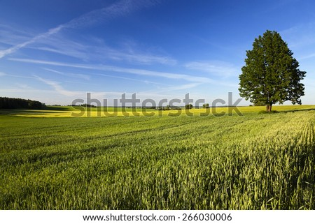 leafy green tree, lonely growing up in a rural field. Blue sky. Summer.