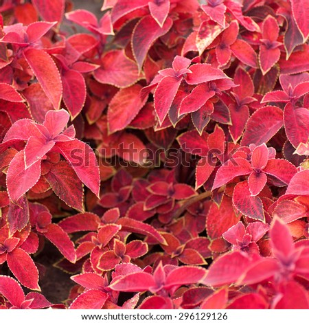 leaves of Coleus colored red background - stock photo