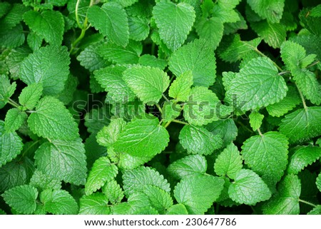 Lemon balm leaves, melissa officinalis. - stock photo