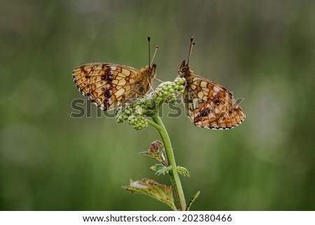 2 Lesser Fritillary having a morning chat - stock photo