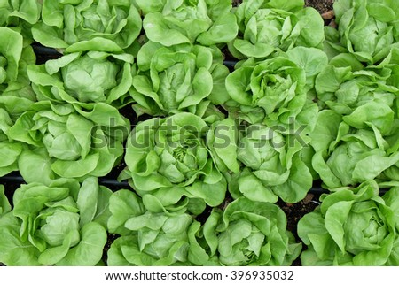 lettuce in vegetable garden with selected focus