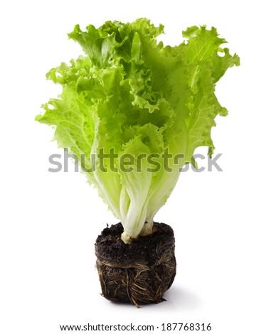 lettuce seedlings on the white background - stock photo